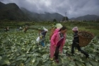 Women from a minority group collect cabbages on a farm in rural China