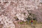 A person walks alone through blossoming trees